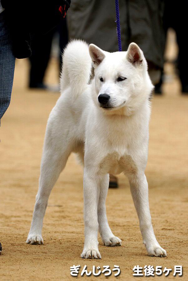 紀州犬の画像 p1_13