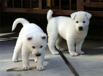 紀州犬の画像 p1_9